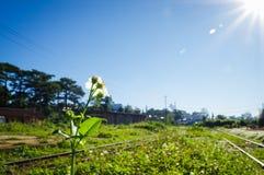 Flores selvagens da margarida & estradas de ferro velhas no amanhecer Imagem de Stock