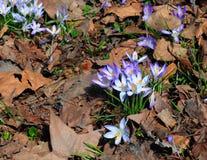 Flores selvagens da mola Flores do açafrão na luz do sol da primavera Fotos de Stock