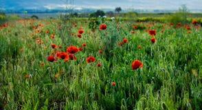 Flores selvagens da mola Papoilas entre o trigo no por do sol Foto de Stock Royalty Free
