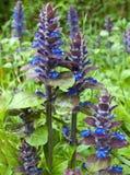 Flores selvagens da montanha Fotos de Stock