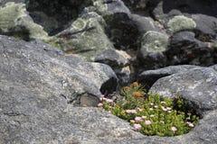 Flores selvagens da montanha da tabela Fotos de Stock Royalty Free