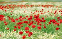 Flores selvagens da papoila e da camomila Imagem de Stock