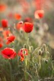 Flores selvagens da papoila vermelha Foto de Stock