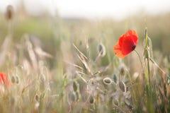 Flores selvagens da papoila vermelha Fotos de Stock