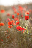 Flores selvagens da papoila vermelha Fotografia de Stock Royalty Free
