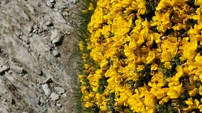 Flores selvagens da rocha imagens de stock