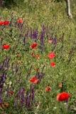 Flores selvagens das papoilas Fotografia de Stock Royalty Free