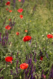 Flores selvagens das papoilas Imagem de Stock Royalty Free