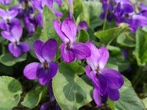 Flores selvagens das violetas perfumadas imagem de stock royalty free