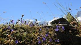 Flores selvagens de florescência com paisagens da geleira Imagens de Stock