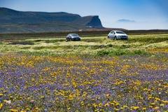 Flores selvagens de florescência nos campos, tempo de mola em Lanzarote, S Foto de Stock