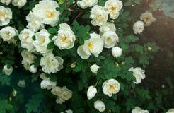 Flores selvagens de Rosa Imagem de Stock Royalty Free