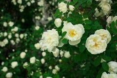 Flores selvagens de Rosa Foto de Stock Royalty Free