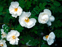 Flores selvagens de Rosa Fotos de Stock