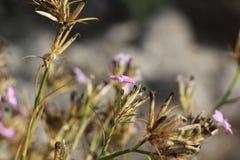 Flores selvagens delicadas, lilás Fotos de Stock Royalty Free