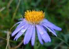 Flores selvagens do crisântemo com gotas da água Fotos de Stock