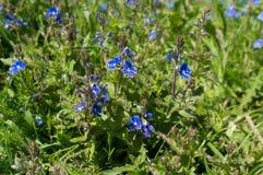 Flores selvagens do miosótis Fotografia de Stock Royalty Free