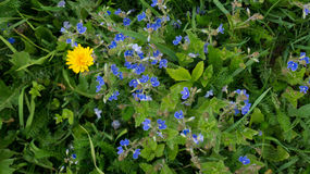 Flores selvagens do miosótis com único dente-de-leão Foto de Stock Royalty Free