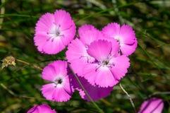 Flores selvagens do rosa do cravo Fotografia de Stock