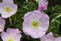 Flores selvagens em Texas sul Fotografia de Stock
