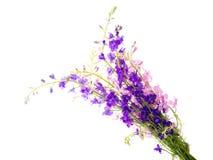 Flores selvagens isoladas Fotografia de Stock Royalty Free