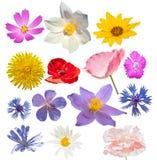 Flores selvagens isoladas Imagens de Stock