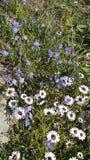 Flores selvagens Medow Fotografia de Stock Royalty Free