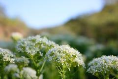 Flores selvagens na montanha de Crimeia Imagem de Stock Royalty Free