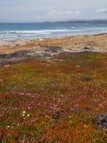 Flores selvagens na praia Fotos de Stock Royalty Free