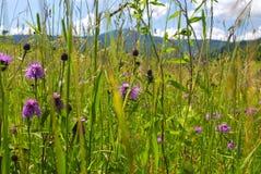 Flores selvagens nas montanhas Imagens de Stock