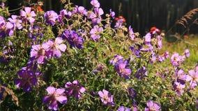 Flores selvagens nas montanhas na luz contrária video estoque