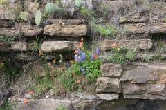 Flores selvagens nas rochas de Texas sul imagem de stock royalty free