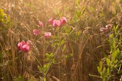Flores selvagens no campo de trigo Fotografia de Stock Royalty Free