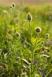 Flores selvagens no por do sol Fotos de Stock