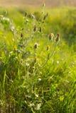 Flores selvagens no por do sol Fotografia de Stock Royalty Free