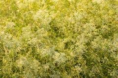 Flores selvagens no por do sol Imagem de Stock Royalty Free