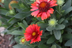 Flores selvagens nos campos de Texas sul fotos de stock