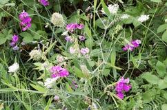 Flores selvagens perfumadas do verão de Oregon fotos de stock