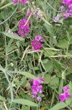 Flores selvagens perfumadas do verão de Oregon foto de stock royalty free