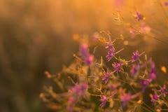 Flores selvagens roxas Imagens de Stock