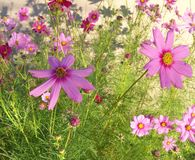 Flores selvagens roxas cor-de-rosa fotografia de stock royalty free
