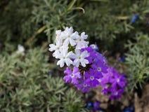 Flores selvagens roxas e brancas do verbena Imagens de Stock