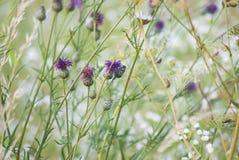 Flores selvagens roxas em um prado verde Imagens de Stock