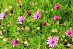 Flores selvagens roxas pequenas Imagens de Stock
