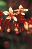 Flores selvagens vermelhas, Trinidad Imagem de Stock Royalty Free