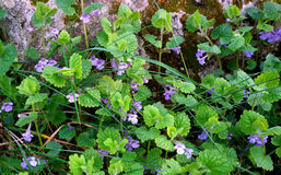 Flores selvagens violetas Fotos de Stock