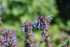 Flores selvagens violetas O campo com cores violetas O campo do verão com flores Imagens de Stock
