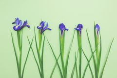Flores sensuales de narcisos azules frescos en espacio verde claro de la copia de la opinión superior del fondo Fotografía de archivo libre de regalías