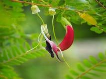 Flores sesban vermelhas agradáveis Imagens de Stock