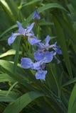 Flores Siberian da íris Imagem de Stock